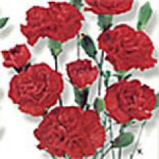 Гвоздика кустовая RED MINI